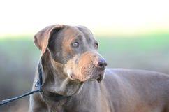Старшая собака Retriever Лабрадора шоколада Стоковое Фото
