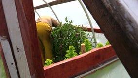 Старшие заводы томатов заботы женщины садовника в оранжерее сток-видео