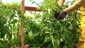 Старшие заводы томатов заботы женщины садовника в парнике акции видеоматериалы