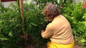 Старшие заводы томатов заботы садовника фермера в парнике видеоматериал