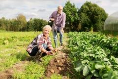 Старшие пары засаживая картошки на саде или ферме Стоковые Изображения RF