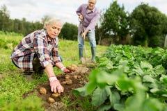 Старшие пары засаживая картошки на саде или ферме Стоковая Фотография