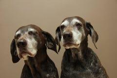Старшие сестры указателя, почти 13 лет старого Стоковое фото RF