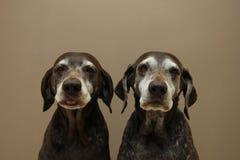 Старшие сестры указателя, почти 13 лет старого Стоковая Фотография