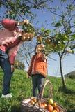 Старшие яблоки рудоразборки женщины и маленькой девочки от дерева Стоковое Изображение