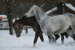 Старшие gelding укусы ожеребятся аравийские лошади стоковое фото