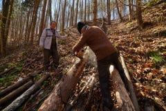 Старшие lumberjacks режа деревья Стоковые Фотографии RF