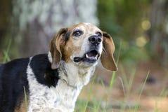 Старший лаять собаки бигля Стоковая Фотография RF