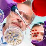 Старший исследователь наук о жизни прививая бактерии. Стоковые Изображения