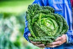 Старший фермер держа в капусте листовой капусты рук свежей Стоковое Фото