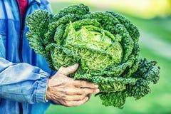 Старший фермер держа в капусте листовой капусты рук свежей Стоковые Изображения
