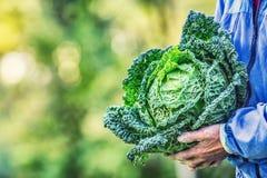 Старший фермер держа в капусте листовой капусты рук свежей Стоковое Изображение RF