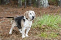 Старший фотоснимок принятия любимчика собаки бигля Стоковое Изображение