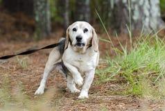 Старший фотоснимок принятия любимчика собаки бигля Стоковые Фотографии RF