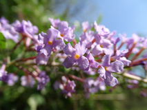 Старший цветок одичалый стоковое изображение