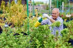 Старший человек заботя для заводов в саде Стоковое Изображение