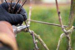Старший человек подрезая виноградник виноградины вина стоковое изображение rf
