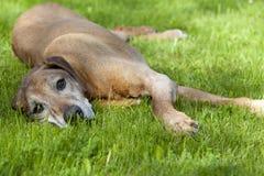 старший ridgeback собаки rhodesian Стоковые Изображения RF