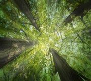 Старые большие деревья дубов стоковая фотография