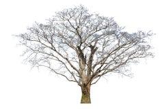 Старые большие умершие дерева изолированные на белой предпосылке Стоковая Фотография RF