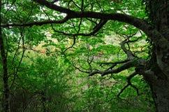 Старые ветви дерева бука Стоковое Фото