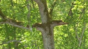 Старые ветви леса дерева двигают в огромный ветер акции видеоматериалы