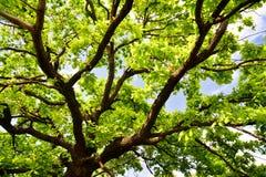 Старые ветви дуба Стоковые Фото