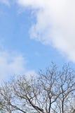 Старые ветвь и свет - голубое небо Стоковые Изображения RF