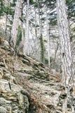Старые высокие деревья с большими корнями на горе стоковая фотография rf