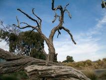Старые высушенные деревья около Брайтона Австралии стоковое изображение
