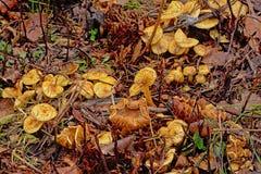 Старые грибы лисички распадаться на поле леса стоковое фото rf