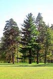 Старые ели в парке Oleksandriya в Bila Tserkva, Украине стоковая фотография