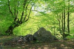 Старые деревья бука Стоковые Фотографии RF
