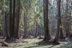 Старые деревья ольшаника перед лесом весеннего времени стоковые изображения rf