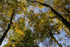 Старые желтые деревья Стоковое Изображение