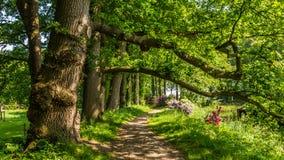 Старые коричневые деревья бука стоковое изображение
