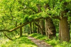 Старые коричневые деревья бука стоковые фото