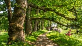 Старые коричневые деревья бука стоковая фотография