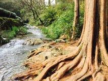 Старые корни ручьем стоковая фотография rf