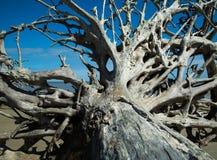 старые корни Стоковое Фото
