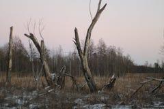 Старые мертвые деревья в болотистом лесе зимы на заходе солнца стоковое изображение