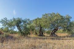 Старые оливковые дерева в поле Стоковое Изображение