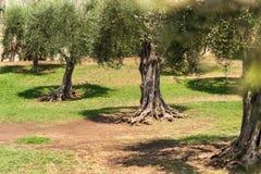 Старые оливковые дерева в саде арен Cimiez Стоковая Фотография