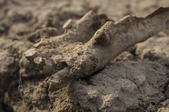 Старые остатки старой лошади Тысячелетнее животное косточек стоковое фото rf