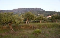Старые оливковые дерева в ландшафте с домом и горами на pelopon Стоковое Фото