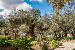 Старые оливковые дерева в саде Gethsemane Стоковая Фотография RF