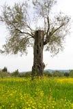 Старые оливковые дерева и луг цветков желтого цвета Стоковое Изображение