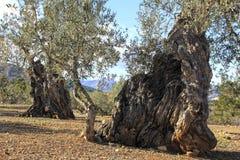старые оливковые дерева Стоковое Изображение RF