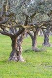 старые оливковые дерева стоковые изображения rf