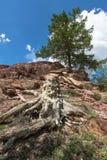 Старые пень и лиственница на наклоне горы Стоковое Изображение